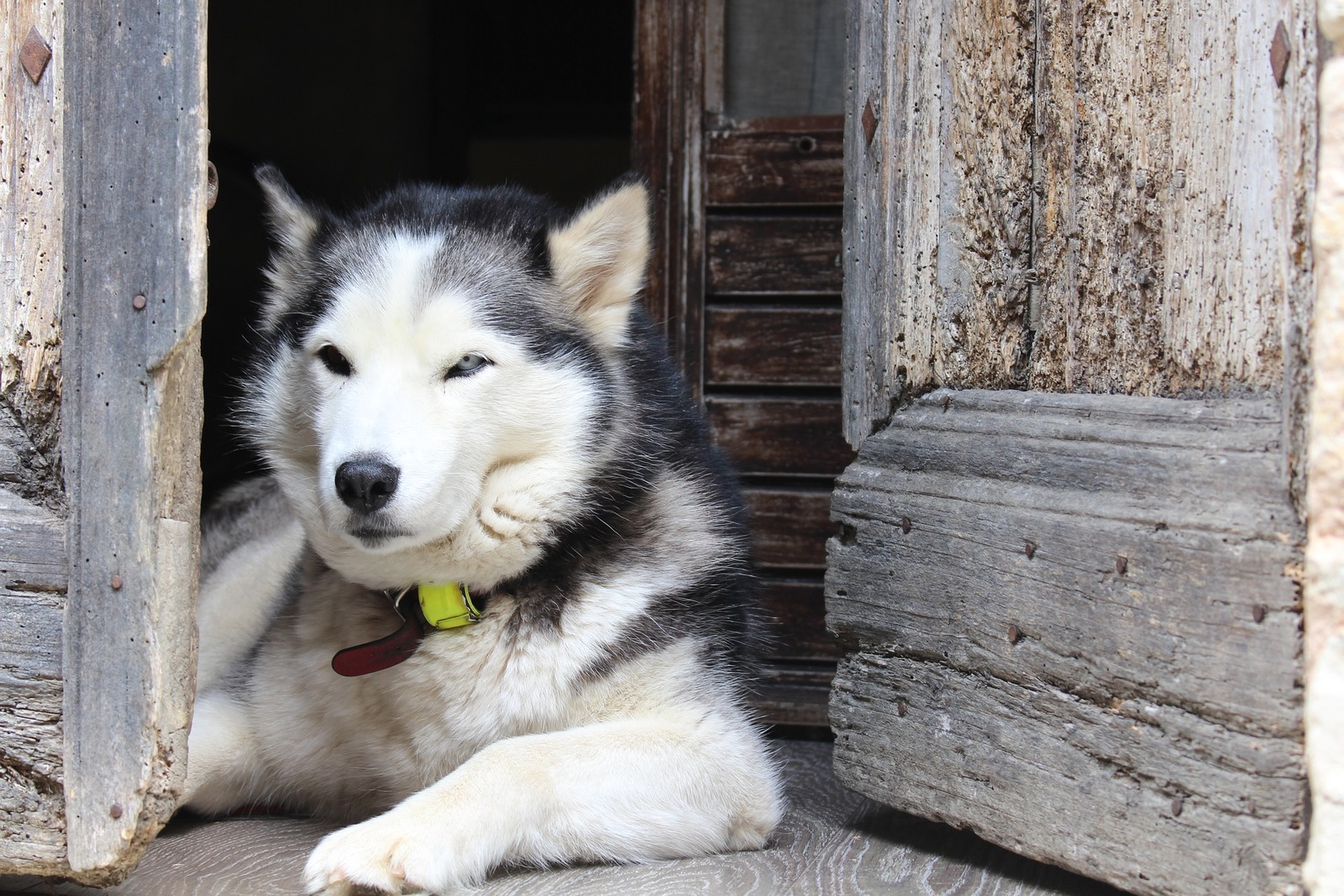 The Shaggy Husky From The Harsh Environment Of Siberia Is Not For