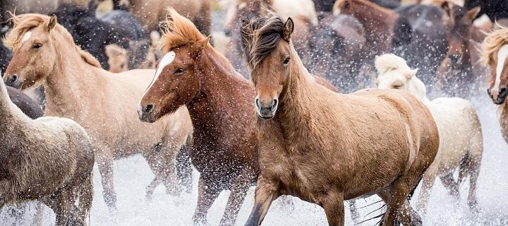 Islandský kůň
