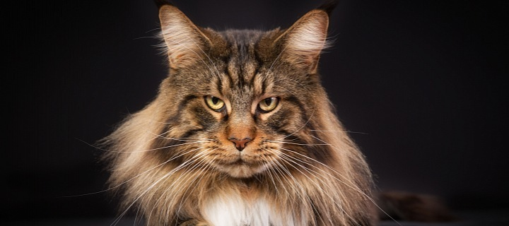 Mainkská mývalí kočka