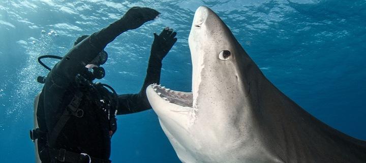 """Žralok tygří """"v konfrontaci"""" s potápěčem"""