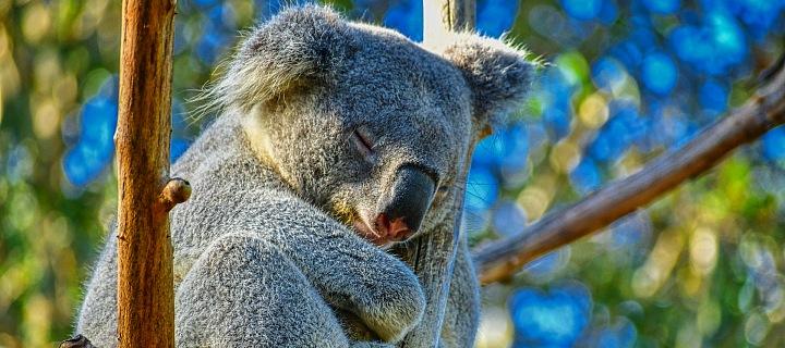 Koaly teď mohou v klidu spát