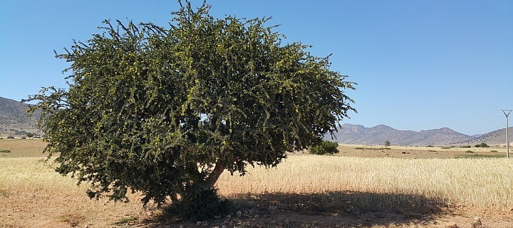 Argania Spinosa - Maroko
