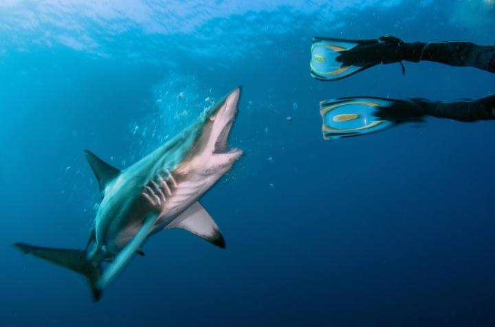 Žralok černocípý v útoku na potápěče
