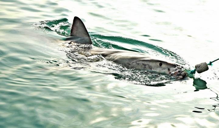 Velký bílý žralok kousající do návnady