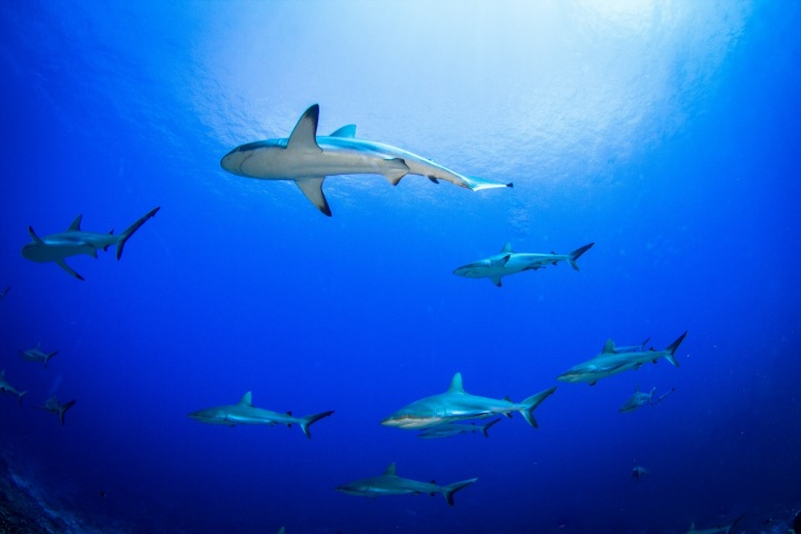 Žraloci ve Francouzské Polynésii jsou jako kapři před Vánocemi