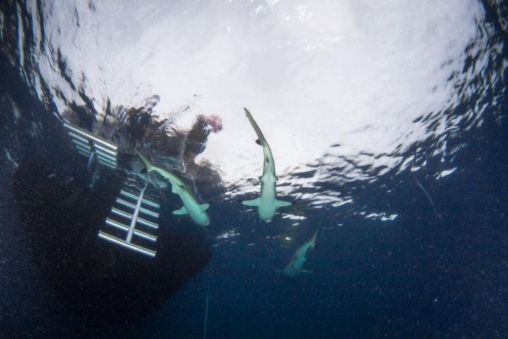Někteří žraloci s oblibou krouží u žebříku lodí