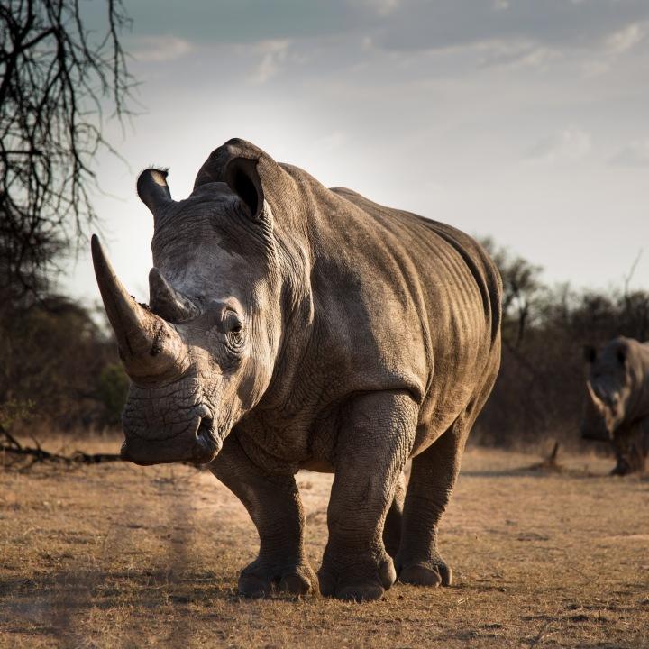 Nosorožec v detailu