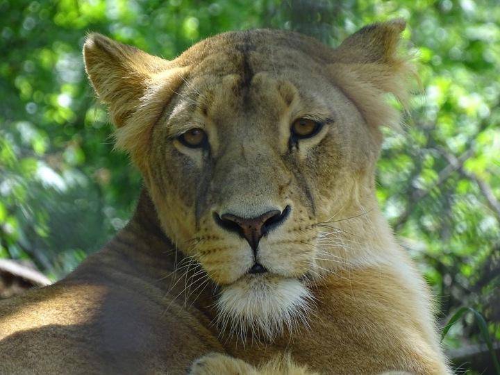 Lev v brněnské ZOO