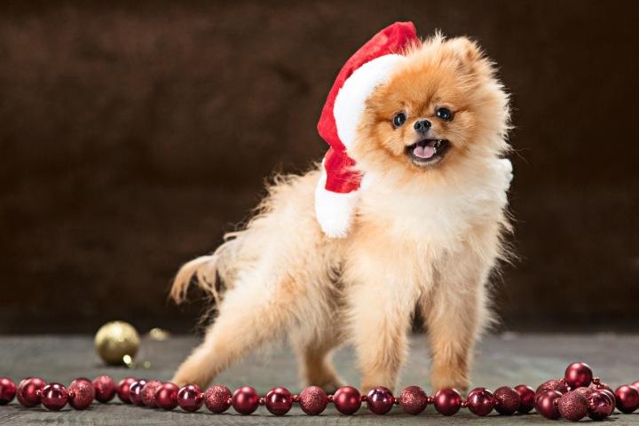 Pes ve vánoční čepici