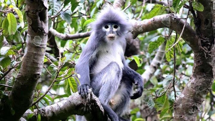 Nový druh opice, Popa langur