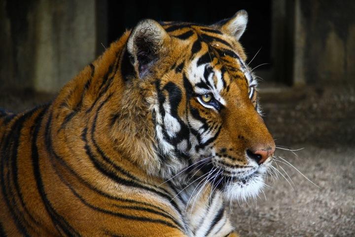 Tygr z newyorské zoo