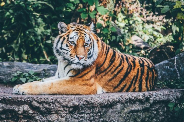 Tygr leží na kameni.