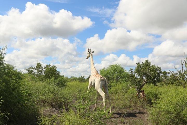 Vzácná bílá žirafa