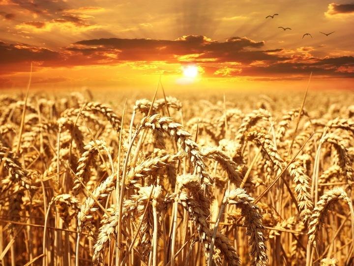 Pšenice je pro nás charakteristická.