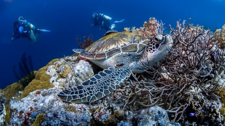 Želva a potápěči u korálového útesu