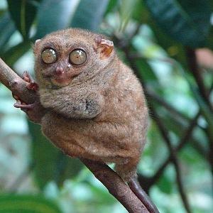 Malá opička Tarsius Syrichta