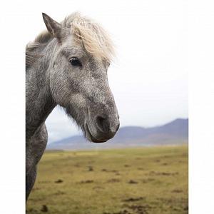 Krásný kůň v překrásné přírodě Islandu