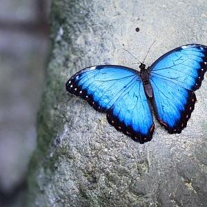 Modrý kousek Morpho peleides