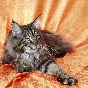Mainská mývalí kočka, černě mramorovaná
