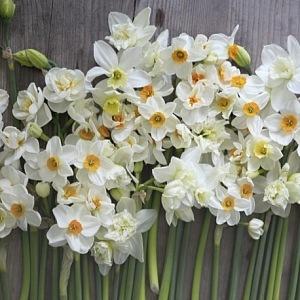 Narcisy z květinové farmy