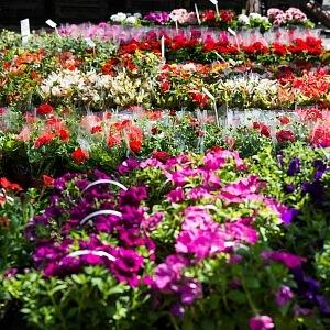 Olomoucké výstavy květin směle konkurují těm londýnským.