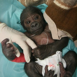 Gorilí mládě.