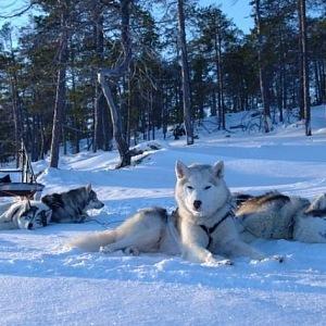 Dogsledding, Husky
