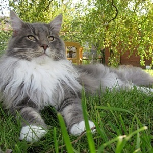 Mainská mývalí kočka