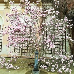 Když na jaře kvete sakura
