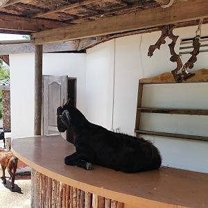 Místní kozy vědí, že na baru je vždycky dobře!
