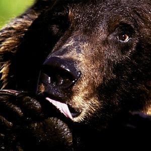 Jiří fotí nejen krajiny, ale i zvířata, nebezpečná zvířata. Třeba medvědy v Kanadě.