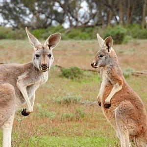 Klokani - symbol Austrálie