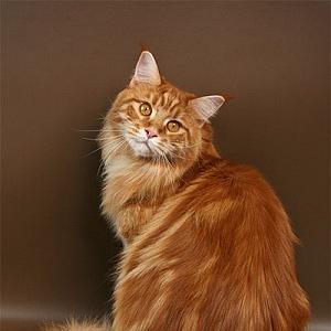 Mainská mývalí kočka s červeným mramorovaným zbarvením