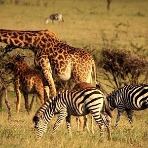 Zvířata, Safari