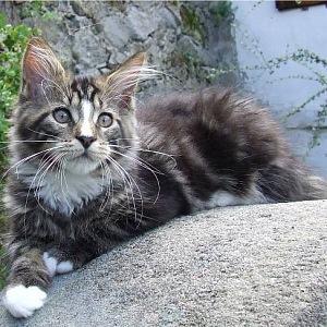 Mladá mainská mývalí kočka