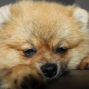 Pomeranian špic