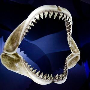 S čelisti žraloka si není radno zahrávat