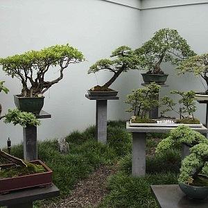 Výstavní bonsaje z čínské zahrady v Syndey