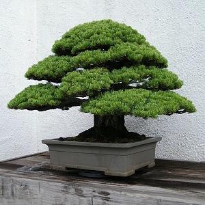 White pine maple bonsai